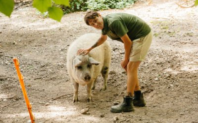 Farewell to Lisa and Alice our Mangalitsa Pigs