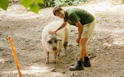 Farewell to Lisa and Alice our Mangalitsa Pigs